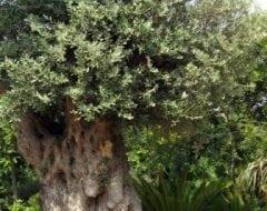 זית סורי עתיק מס' 3 - עצי נוי | הדר נוי משתלות