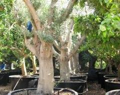 עץ זית סדרה 8 - זיתים סוריים חדשים במיכל - עצי נוי | הדר נוי משתלות