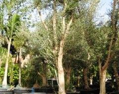 טוב מאוד עצי זית למכירה | הדר נוי משתלות BK-18
