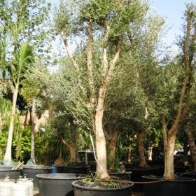 עץ זית סדרה 5- זית
