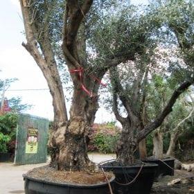 עץ זית סדרה 15- זיתי מנזלינו - עצי נוי | הדר נוי משתלות