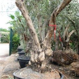 עץ זית סדרה 15- זיתי מנזלינו - עצי נוי   הדר נוי משתלות