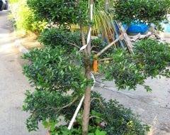סיזיגיום בונסאי במיכל - עצי נוי   הדר נוי משתלות