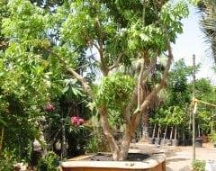 עצים בוגרים במיכלים -לתצוגות, אירועים ומכירה - עצי נוי | הדר נוי משתלות