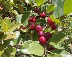 גויאבה-תותית אדומה- עצי פרי אקזוטיים | הדר נוי משתלות