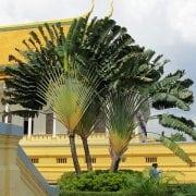 רוונלה מדגסקרית ('דקל המניפה') - עצי נוי | הדר נוי משתלות