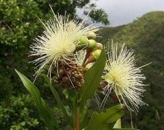 תפוח הורד- עצי פרי אקזוטיים | הדר נוי משתלות