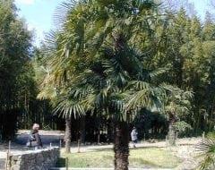 טרכיקרפוס פורטוני - עצי נוי | הדר נוי משתלות