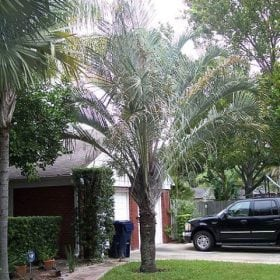 דיפסיס דקארי ('דקל משולש') - עצי נוי | הדר נוי משתלות