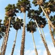 וושינגטוניה חסונה - עצי נוי | הדר נוי משתלות