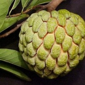 עץ אנונה- עצי פרי | הדר נוי משתלות
