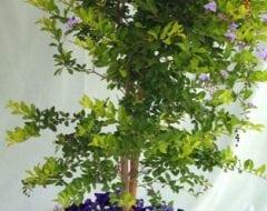 דורנטה מעוצבת פרחים בכד - עצי נוי   הדר נוי משתלות