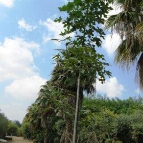 ברכיכטון דו-גוני למכירה - עצי נוי | הדר נוי משתלות