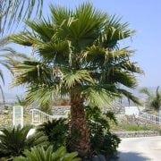 וושינגטוניה חוטית - עצי נוי | הדר נוי משתלות