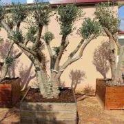עץ זית שתול בתוך מיכל עץ - עצי נוי | הדר נוי משתלות
