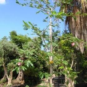 קליאנדרה למכירה - עצי נוי | הדר נוי משתלות