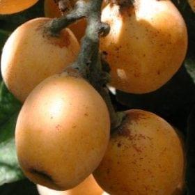 עצי הדר טבלה - עצי פרי   הדר נוי משתלות