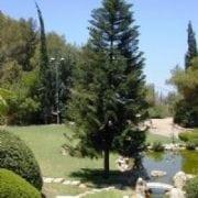 ארוקריה רמה- עצי נוי | הדר נוי משתלות