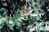 אלה אטלנטית - עצי נוי | הדר נוי משתלות