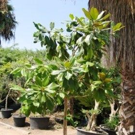 מגנוליה גדולת פרחים למכירה - עצי נוי   הדר נוי משתלות