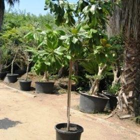 מגנוליה גדולת פרחים למכירה - עצי נוי | הדר נוי משתלות