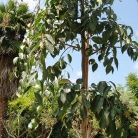 מיש אפריקאי (בכותי ) למכירה - עצי נוי| הדר נוי משתלות
