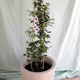 פנדוראה מגוונת בכד - עצי נוי | הדר נוי משתלות