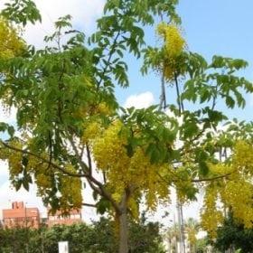 כסיית האבוב - עצי נוי | הדר נוי משתלות