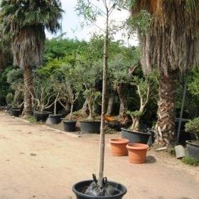 ברכיכטון הסלעים למכירה- עצי נוי | הדר נוי משתלות