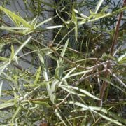 בריכיכטון הסלעים - עצי נוי | הדר נוי משתלות