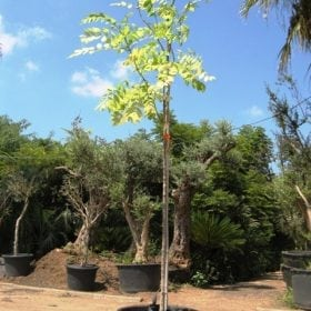 ספטודאה, עץ הטוליפ למכירה - עצי נוי| הדר נוי משתלות