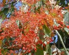 ברכיכיטון אדרי - עצי נוי | הדר נוי משתלות