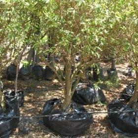 עץ תפוז סיני- עצי פרי | הדר נוי משתלות