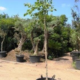 כנסו לקרוא ולגלות על אקליפטוס טורלי למכירה הדר נוי מומחים לאקלום עצי נוי לחצו לפרטים...