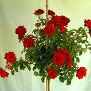 ורד 'הנזל מנשיין' מעוצב בכד - עצי נוי | הדר נוי משתלות