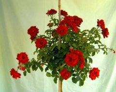 ורד 'הנזל מנשיין' מעוצב בכד - עצי נוי   הדר נוי משתלות