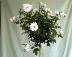 ורד 'אייסברג' מעוצב בכד - עצי נוי   הדר נוי משתלות