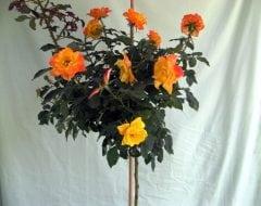 ורד 'ג'ודי גארלנד' מעוצב - עצי נוי   הדר נוי משתלות