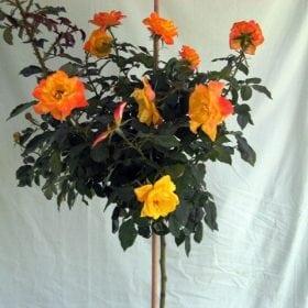 ורד 'ג'ודי גארלנד' מעוצב - עצי נוי | הדר נוי משתלות