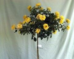 ורד 'פרידום' מעוצב בכד - עצי נוי | הדר נוי משתלות