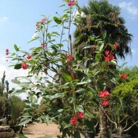 יתרופית תמימה למכירה - עצי נוי | הדר נוי משתלות