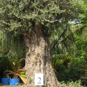 זית סורי עתיק מס' 2 - עצי נוי | הדר נוי משתלות