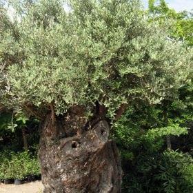 זית סורי עתיק מס' 4 - עצי נוי | הדר נוי משתלות