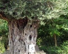 זית סורי עתיק מס' 5 - עצי נוי | הדר נוי משתלות