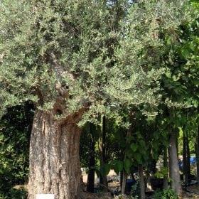 זית סורי עתיק מס' 6 - עצי נוי | הדר נוי משתלות