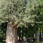 זית סורי עתיק מס' 6 - עצי נוי   הדר נוי משתלות