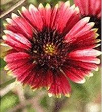גיירדה גדולת פרחים