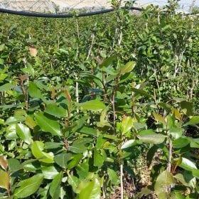 גת -קאת - עצי נוי | הדר נוי משתלות