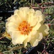 רגלה גדולת-פרחים (פורטולקה) - עצי נוי | הדר נוי משתלות