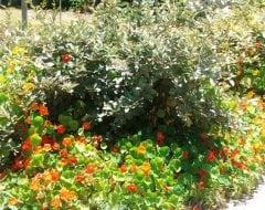 כובע-נזיר גדול - עצי נוי   הדר נוי משתלות